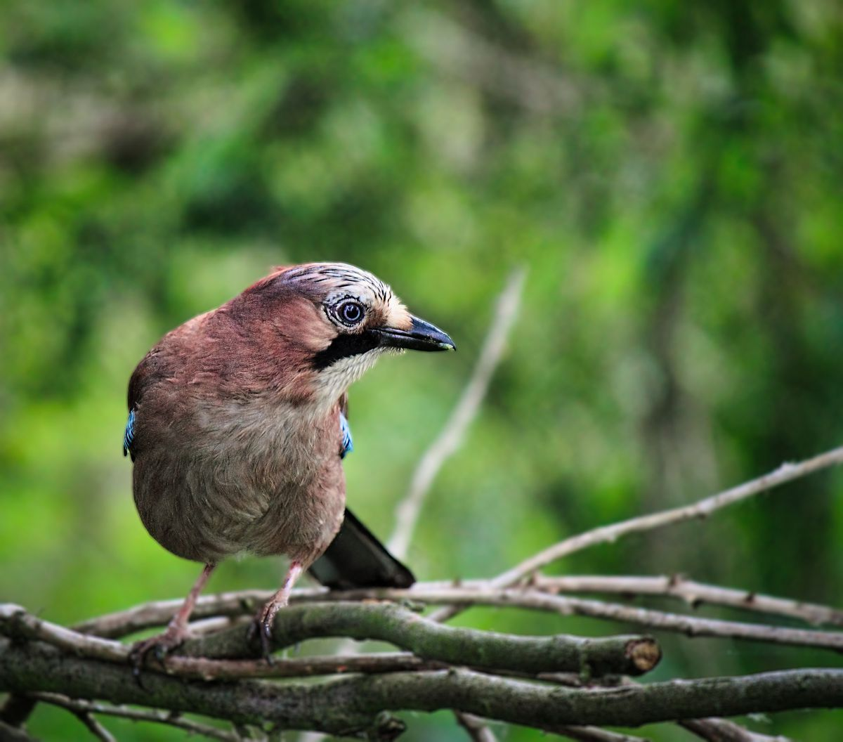 The handsome jay