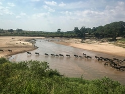 Wildebeest migration takes place without tourists in year of the pandemic