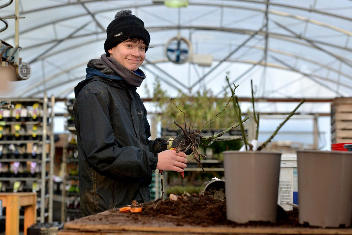 Alfie Minta of Oakgate Nursery & Garden Centre is pictured potting up roses