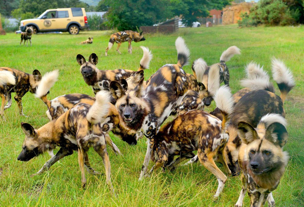 The African Wild Dogs pack at West Midland Safari Park pictured last year