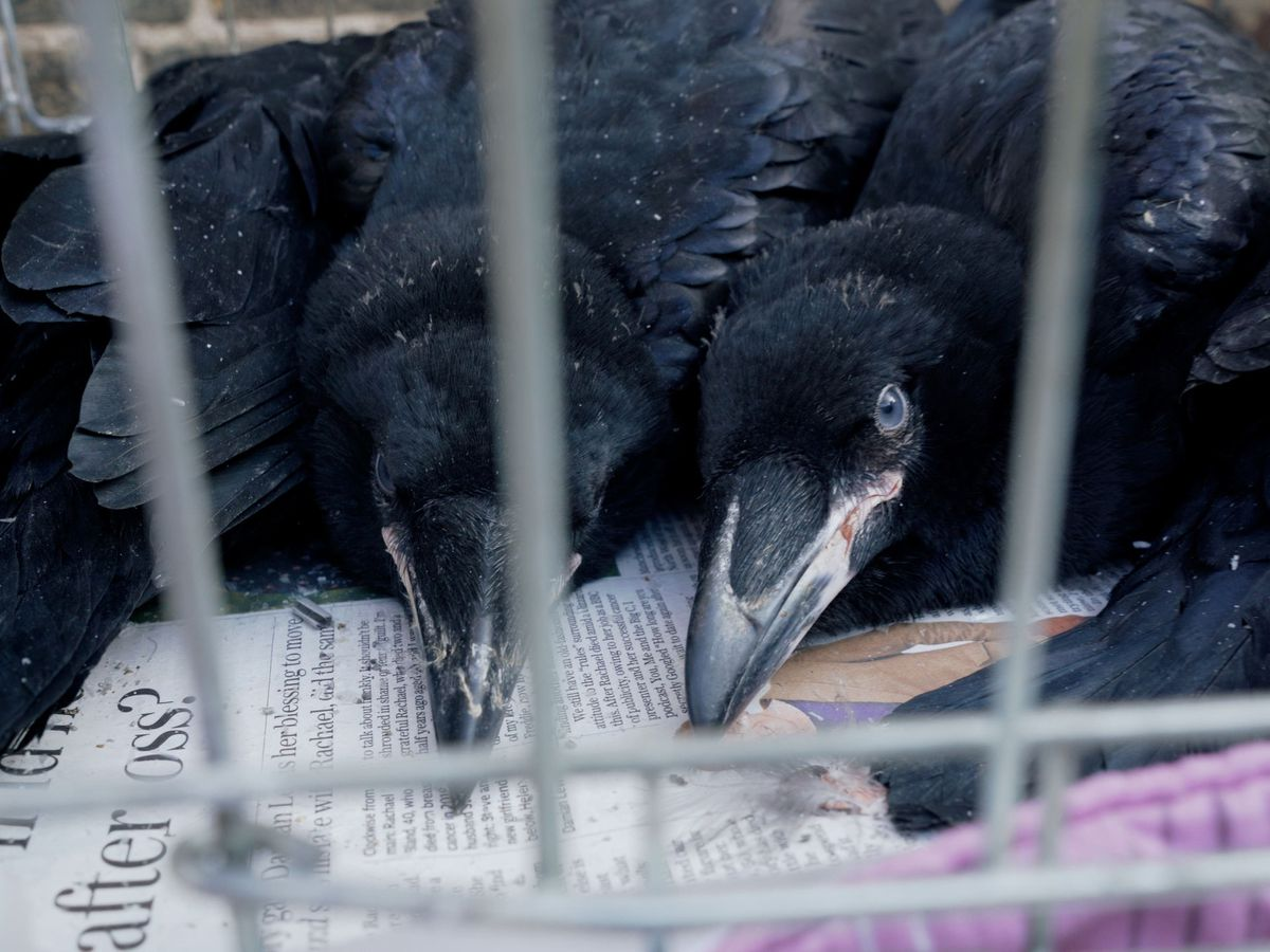 Two baby ravens peer through a cage - they are lying on newspaper with their eyes open