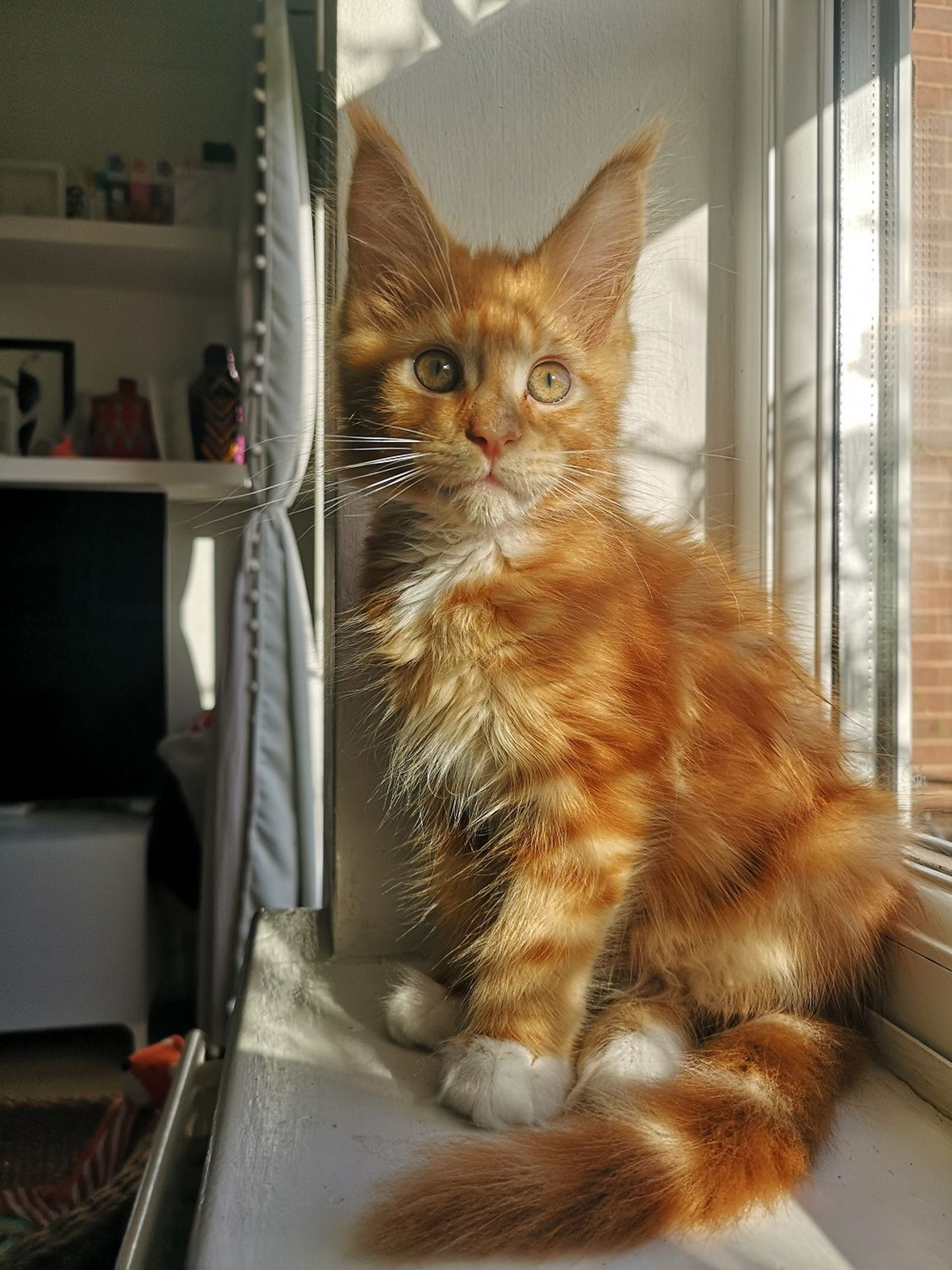 Pintxo the cat, who won the Ginger Cat competition