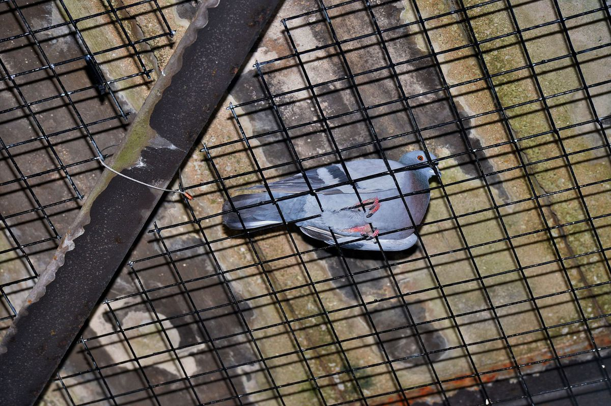 A pigeon trapped inside the mesh underneath the bridge