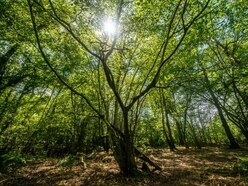 HS2's clearances of ancient woodland halted by Transport Secretary