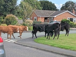 Cows invade residential street in Shropshire village