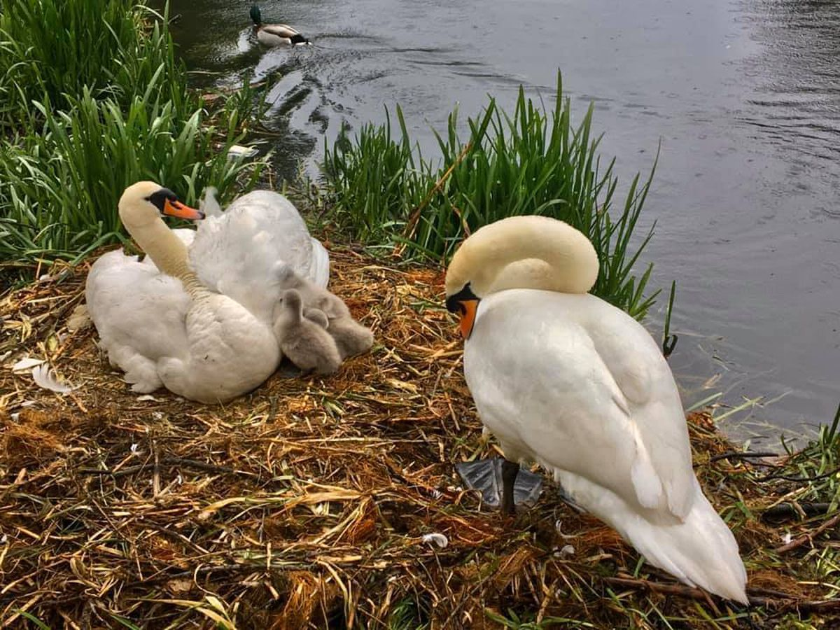 Beatrice, Benedict and three of their cygnets last year