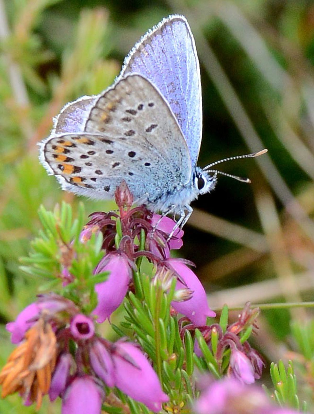 A rare Silver-studded Blue butterfly at Prees Heath Common