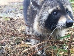 These raccoons were thought to have rabies. Turns out they were just drunk