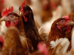 Farm gets nod for 100,000 chickens