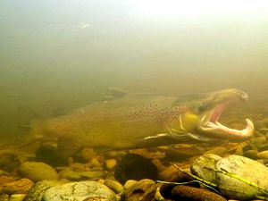 One of the salmon, its jaw changed to cope with its journey upstream. Photo Jack Perks