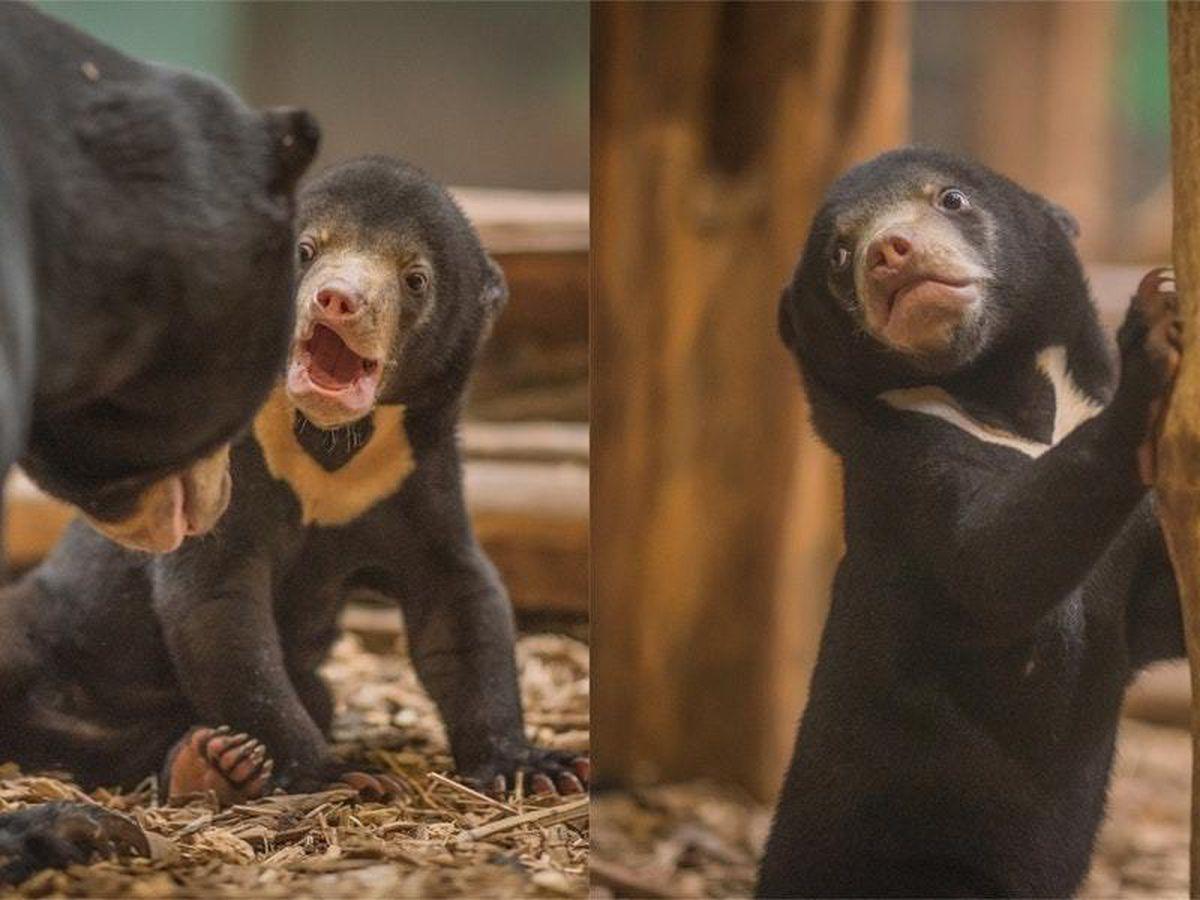 Kyra the sun bear plays at Chester Zoo