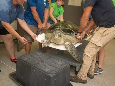 Watch this huge rescue turtle called Guacamole returned to the ocean