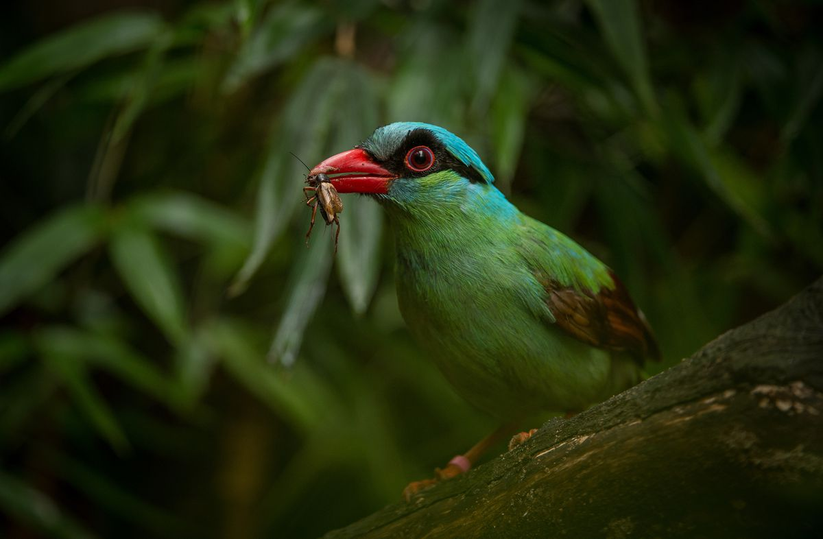 2017 - Six pairs of one of the world's rarest bird species - the Javan green magpie - were flown to Chester Zoo from Indonesia in a bid to create a new breeding programme save them from extinction.