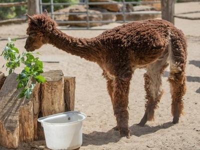 Alpaca at London Zoo keeps cool with new haircut