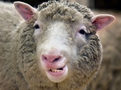 'Baaad' news for commuters as trailer full of sheep partially blocks A-road
