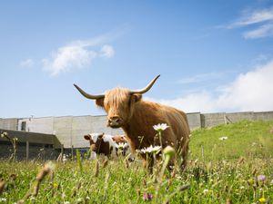 Cows at Culloden