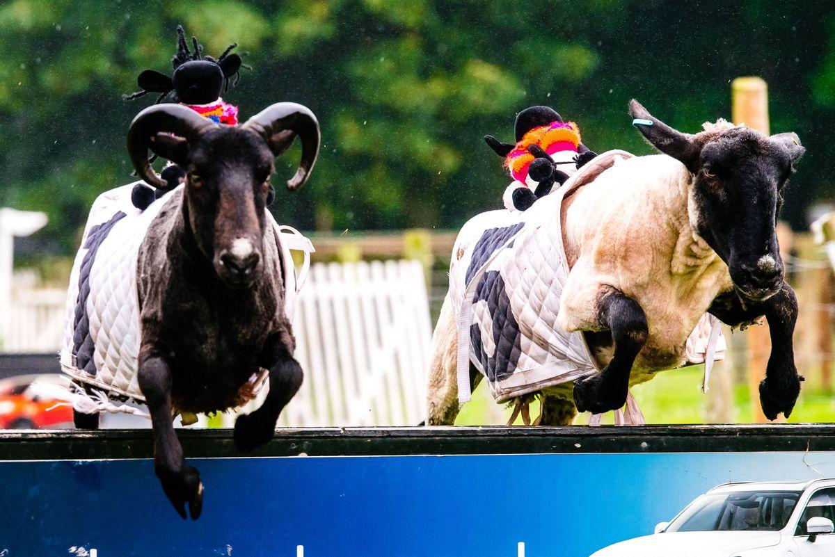 Sheep racing at Hoo Farm