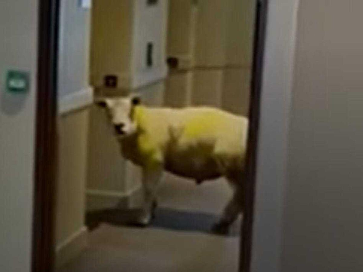 Sheep walks into hotel in Holyhead