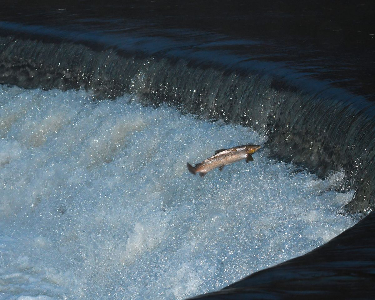 A fish leaps at the weir