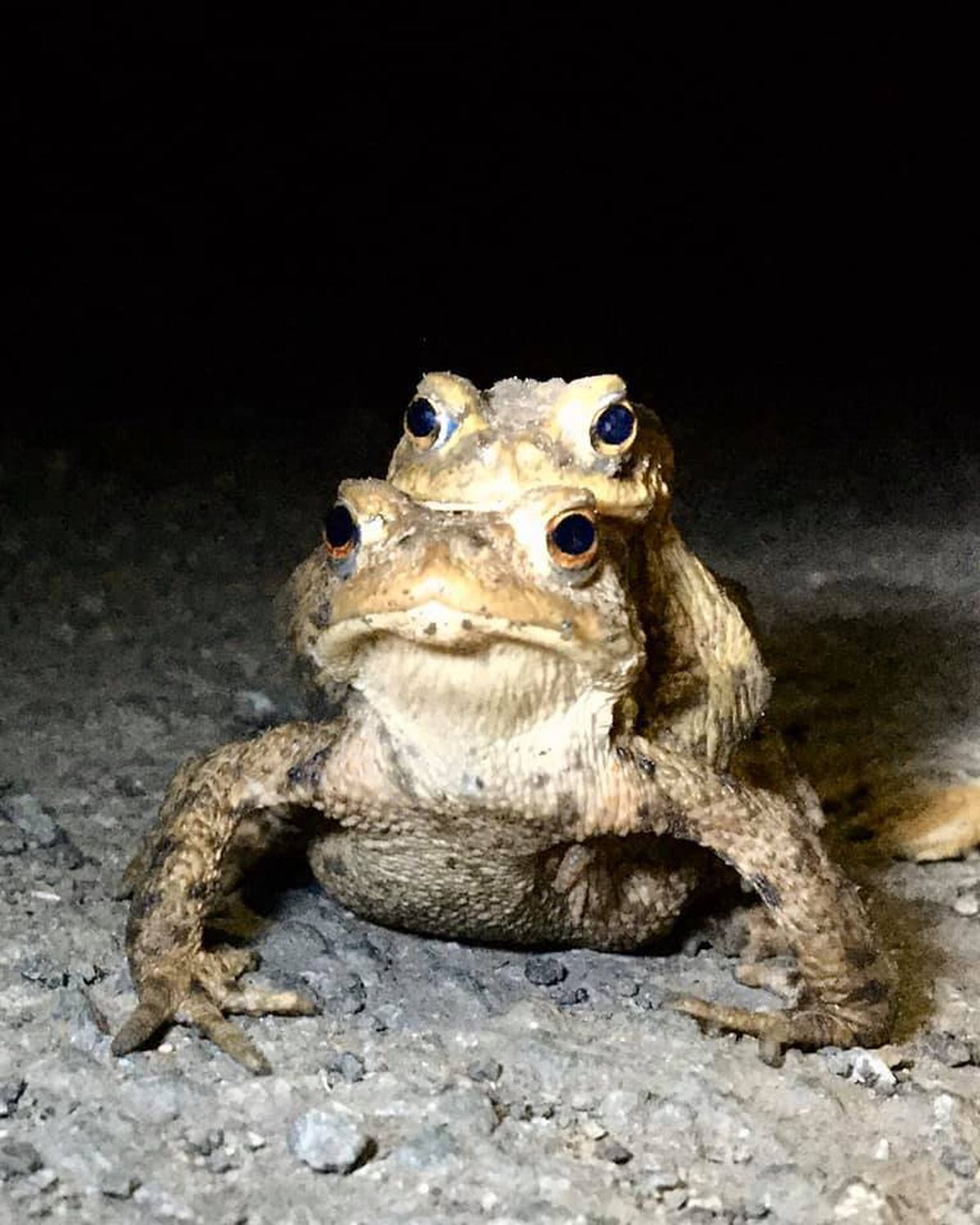 Courting toads found by the  volunteers last year