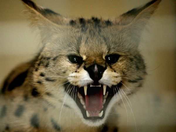 One serval cat is kept privately in Shropshire