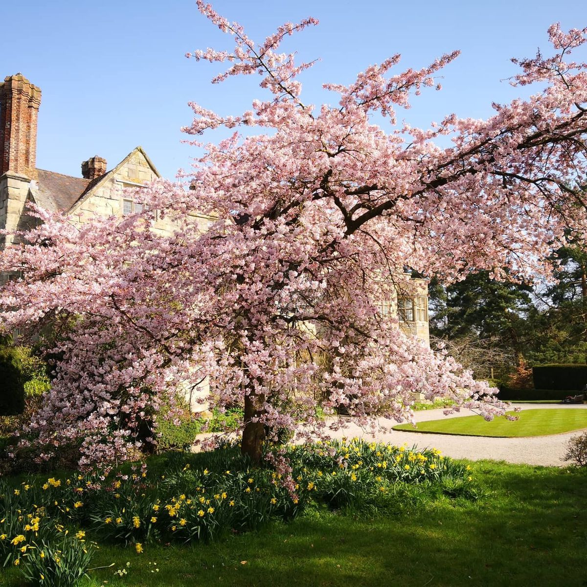 The Yoshino Cherry Tree at the National Trust's Benthall Hall (near Broseley in Shropshire)