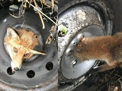 'Very lucky' fox released into the wild after getting head stuck in a tyre