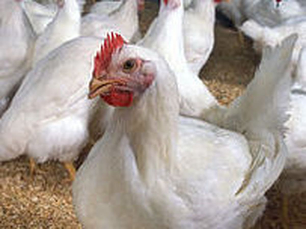 The site will be home to 180,000 chickens