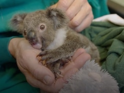 Koala hand-raised in fake pouch 'thriving' at zoo