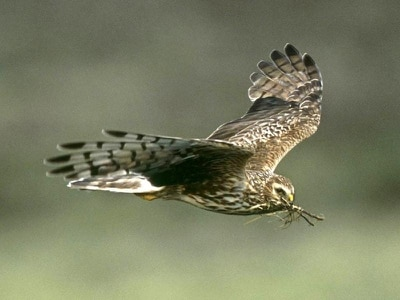 Shooting groups pledge 'zero tolerance' on illegal killing of birds of prey